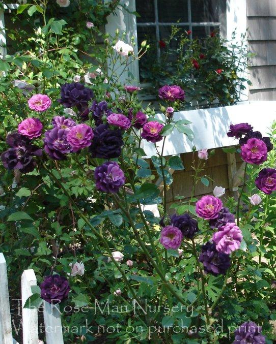 The Rose Man Nursery Amp Emporium Photo Gallery